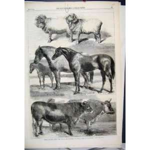 1862 Prize Animals Show Battersea Park Sheep Horse Cow