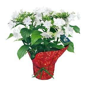 White Shooting Star Christmas Plant in Christmas Wrap